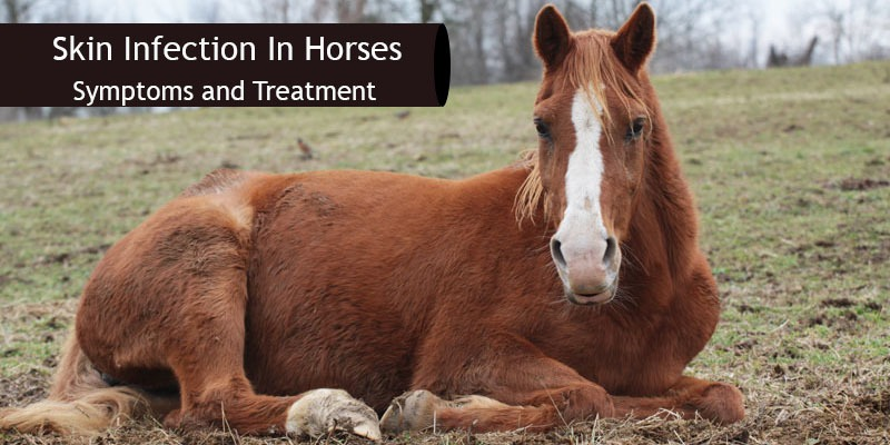 horse skin infection