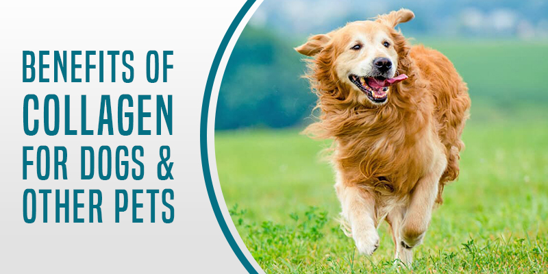 Benefits-of-Collagen-for-Dogs-Other-Pets
