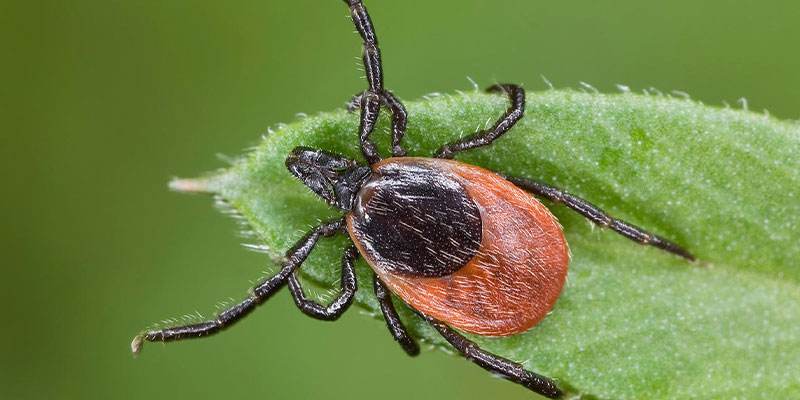Facts about ticks