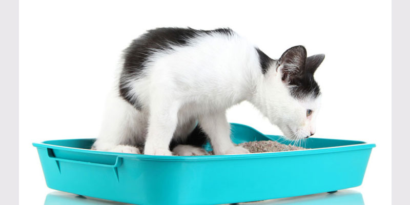 Feline Idiopathic Cystitis In Cats