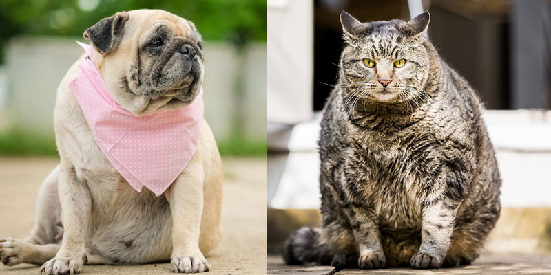 Obesity in Dogs and Cats and How to Handle It